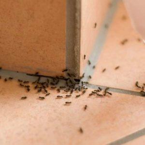 Se débarrasser de fourmis