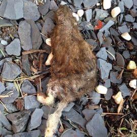 Professionnel extermination de rats
