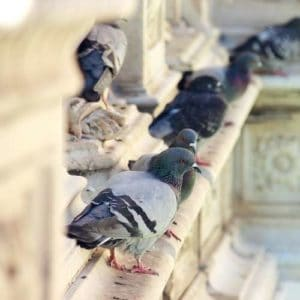 Action Nuisible pigeons