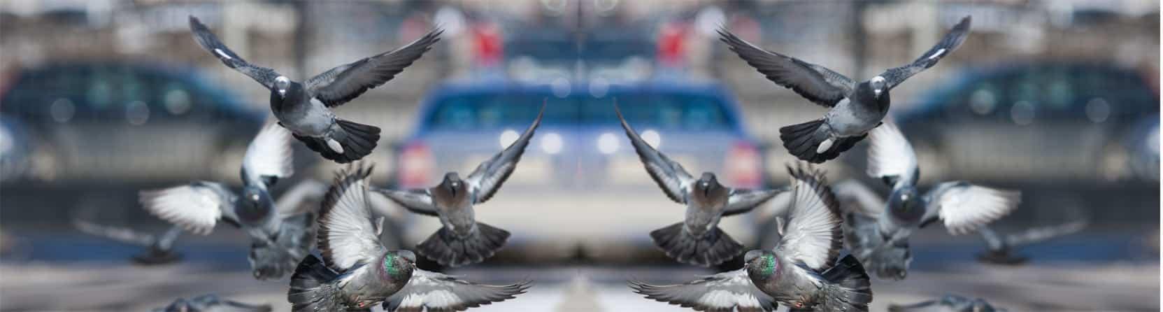 Pigeons douai