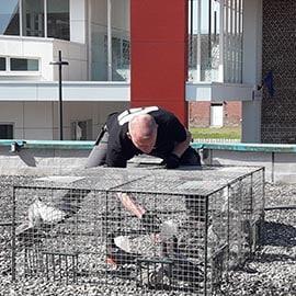eradiquation pigeon cambrai