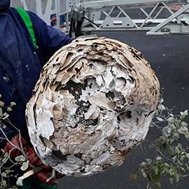 Entreprise nid de frelon asiatique 59